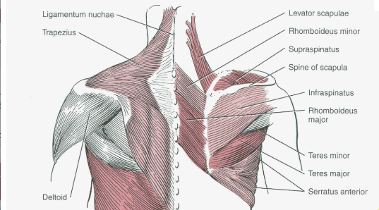 upper-back-muscles-diagram